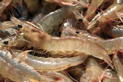 330 tons of shrimps exported from Chabahar