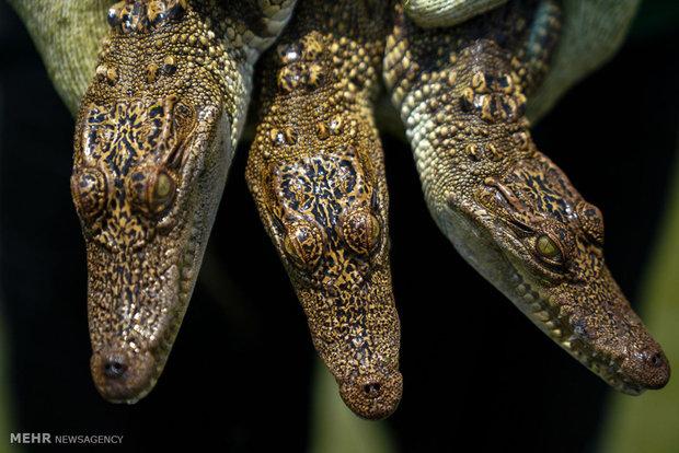 Tayland'da krokodillerin yetişdiği çiftlikler