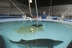 تولید ۴۴۵ تن ماهی خاویاری در گیلان/ ۴۰ مزرعه فعال است