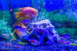 تولید سالیانه دو میلیون و هشتصدهزار قطعه ماهی زینتی در آبیک