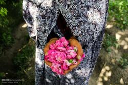 جشنواره گل محمدی دودانگه ثبت ملی می شود