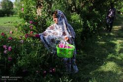 هفتمین جشنواره گل محمدی در روستای عنصرود اسکو