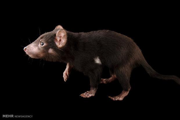 جانوران بومی استرالیا