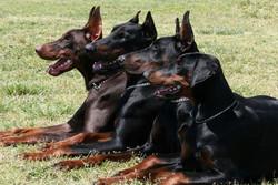 ۲۶۰۰ قلاده سگ علیه بیماری هاری در هرمزگان واکسینه شدند