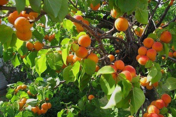 روز مزرعه میوههای سردسیری در روستای «جمچین» خاش برگزار شد