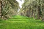 ۲۶۰۰ هکتار نخلستان بارور در شهرستان کرمان وجود دارد