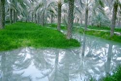 آبیاری نخلستانها با آب شرب/متخلفان با برخورد قانونی مواجه می شوند