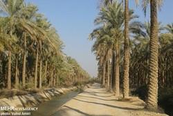 برداشت خارک و رطب در شهرستان دشتستان