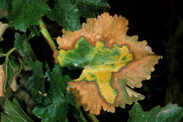 ۳۲ هزار هکتار باغ انگور قزوین در معرض آفت «زنجره مو» قرار دارد