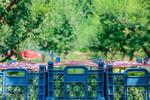 ۵۰ هزار تُن میوه از باغ های سقز برداشت می شود