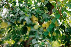 آیین برداشت میوه در شهرستان ساوجبلاغ