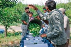 برداشت میوه در سطح باغات شهرستان ملکشاهی