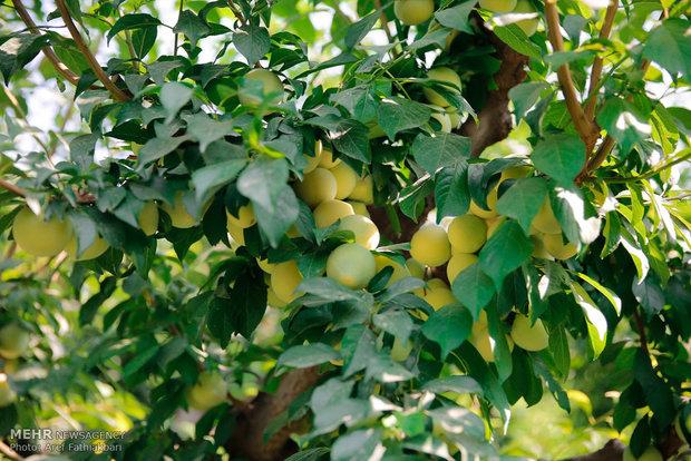 تولید ۲۲میلیون تن محصولات سردرختی/باغات به فناوری نوین تجهیز شوند