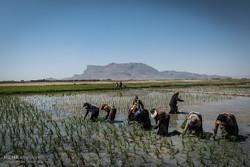 بخش عظیمی از نیروی بخش کشاورزی را زنان روستایی تشکیل میدهند