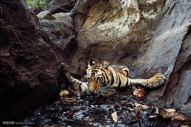 حفظ گونههای در معرض انقراض با بیوتکنولوژی