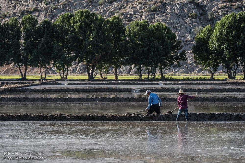 برنج کاری در رامجرد در نهمین سال خشکسالی فارس