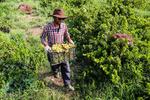 زنجان از استانهای مهم تولید  کننده محصول انگور درسطح کشور است