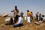 صنایع تبدیلی سیبزمینی در استان همدان جوابگوی میزان تولید نیست