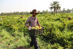 İran'da üzüm hasadı başladı
