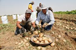 صادرات سیبزمینی و گوجهفرنگی را مدیریت کنید/بازار داخلی دچار مشکل میشود