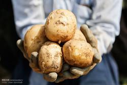 کشف ۱۵ تن سیب زمینی قاچاق در پایانه مرزی چذابه خوزستان