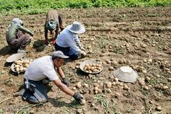 پیاز همچنان می تازد/ سیب زمینی دو روز دیگر ارزان میشود