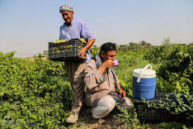 """قطف عناقيد العنب في قرية """"غزاوية"""" في خوزستان"""