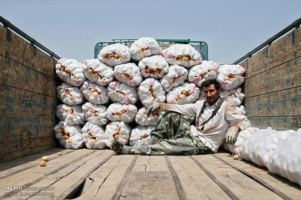 Hemedan'da patates hasadı