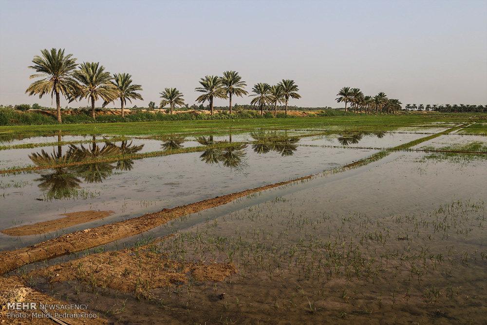 برداشت انگور از تاکستان های روستای غزاویه از توابع شهرستان کارون