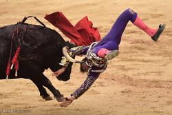 رویارویی ماتادورها با گاوهای زخمی