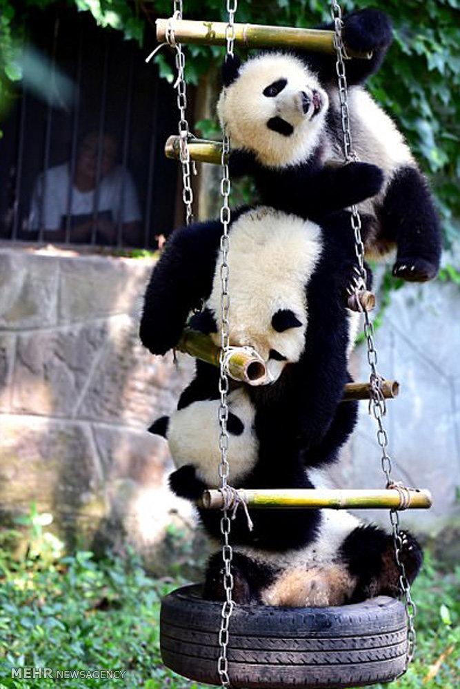 جشن تولد پانداهای چینی