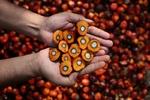 قیمت جهانی شکر افزایش یافت/روغن پالم گران شد