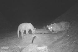 تصویر ۲ پلنگ ایرانی در دوربین تلهای پارک ملی توران شاهرود ثبت شد