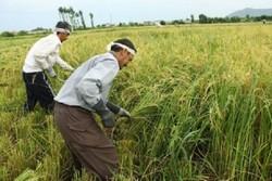 محصول برنج ۲۵ درصد از اراضی شالیزاری شهرستان فومن برداشت شده است