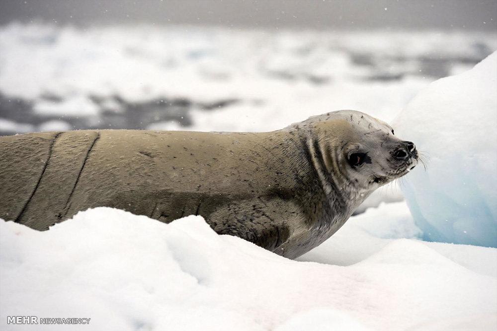 یخ های شکننده قطبی