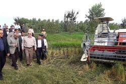واردات برنج تا پایان فصل برداشت ممنوع شد