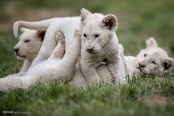 شیر کے خاندان کی شاندار تصویریں