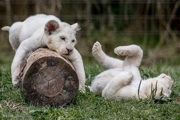 تصاویری زیبا از خانواده شیرها