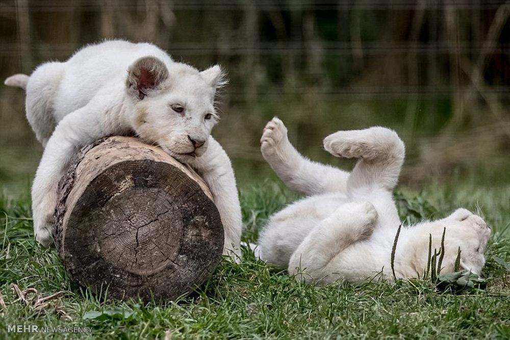 خانواده شیرها
