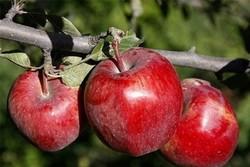 سالانه ۳۰۰هزار تن سیب صادر می شود/تولید۱.۲تن سیب درآذربایجان غربی