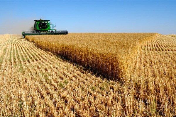 پیشبینی تولید بیش از ۱۳.۵ میلیون تن گندم طی سالجاری