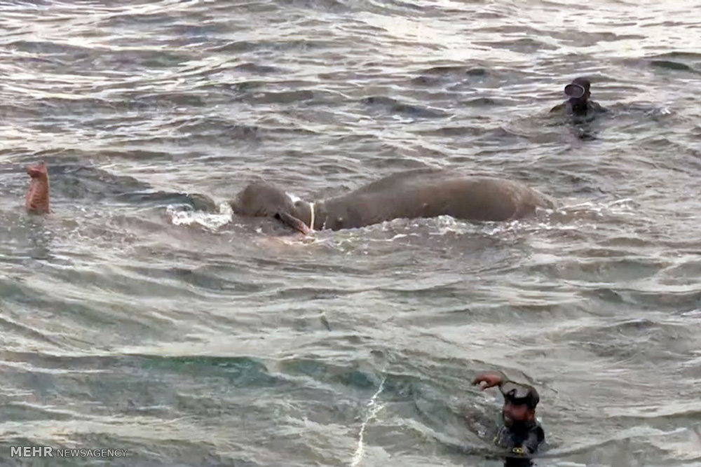 نجات فیل از دریا