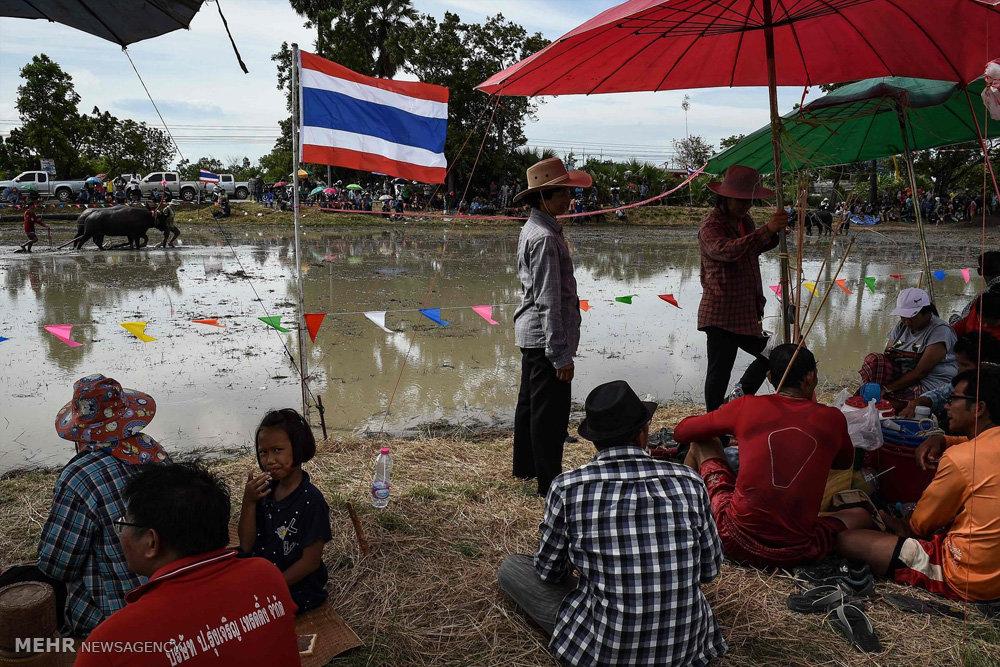 مسابقه بوفالوسواری در تایلند