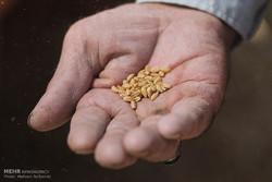 دِراسة القمح في حقول خراسان الجنوبية من أقدم المهن البشرية /صور