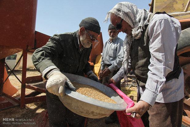 İran'da geleneksel buğday hasadı