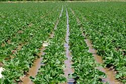 تمام ارقام بذر چغندر قند در داخل کشور تولید میشود