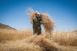 برداشت گندم در شهرستان بیجار ۶۵ درصد کاهش یافت
