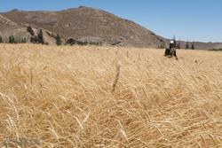 ۱۵ هزار هکتار از اراضی کشاورزی شهرستان آبیک به زیر کشت گندم رفت