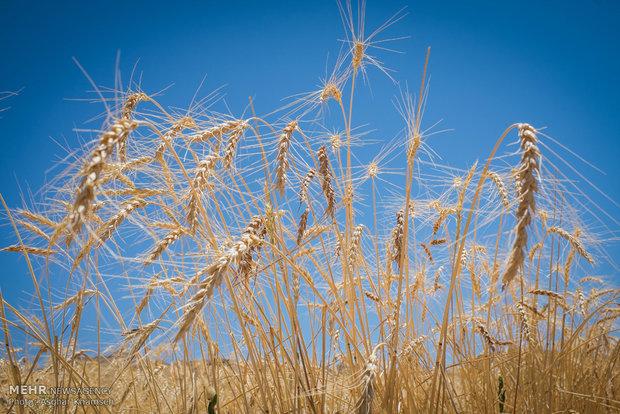۳۴ هزار هکتار از اراضی اندیمشک به کشت گندم اختصاص یافت