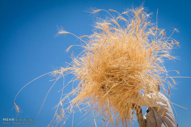 ۴۰ هزار تن گندم و جو از کشاورزان اسدآبادی خریداری شده است
